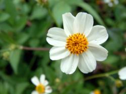 ビンデスピローサの花