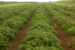 宮古ビンデスピローサ畑